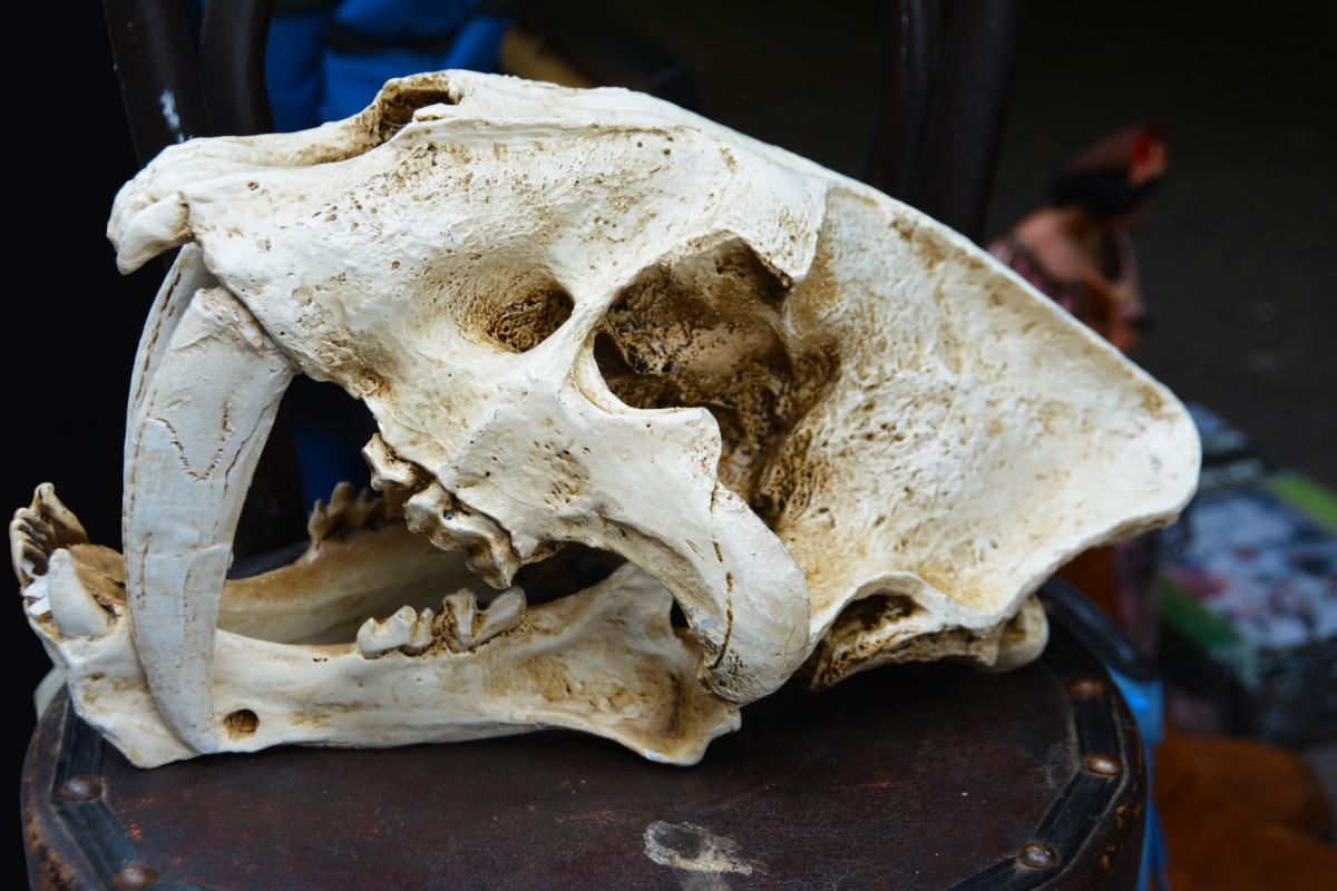 antiguo escalofriante canino antiguo Grunge muerto muerte cráneo hueso cara escultura de miedo miedo cabeza peligro horripilante esqueleto anatomía horror dientes diente colmillo aterrador cráneo mandíbula frontal Tigre dientes de sable craneal