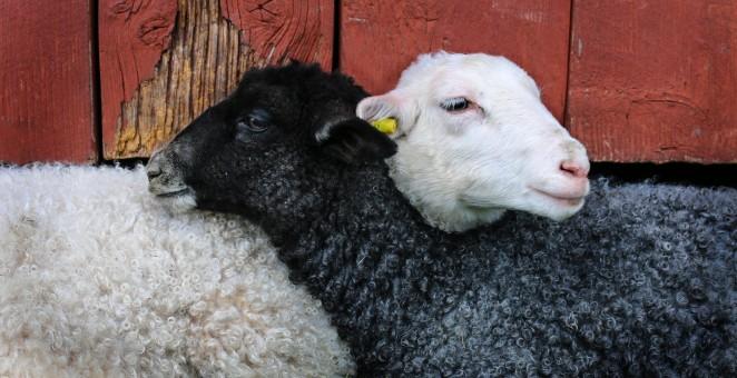 Des moutons images gratuites banque d image gratuite - Photos de moutons gratuites ...