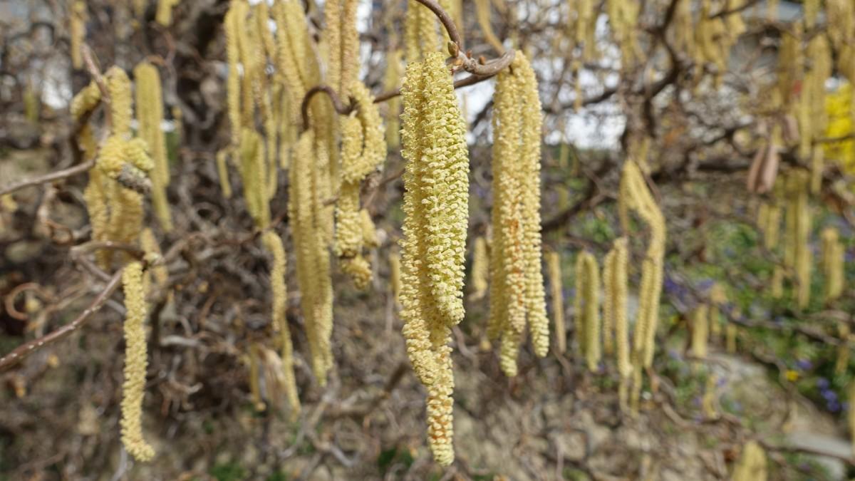 Immagini belle albero ramo foglia fiore polline for Pianta noccioline