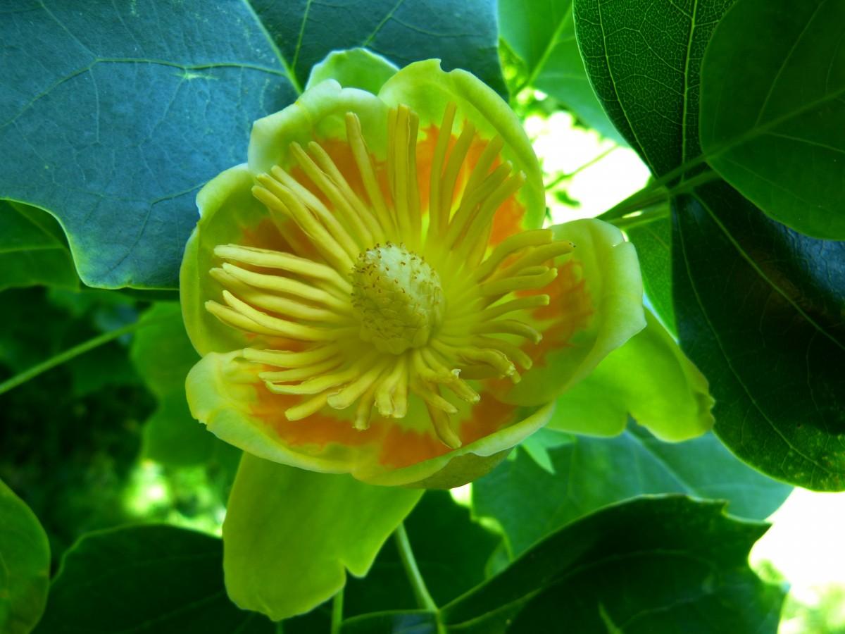Albero dei tulipani foto 60