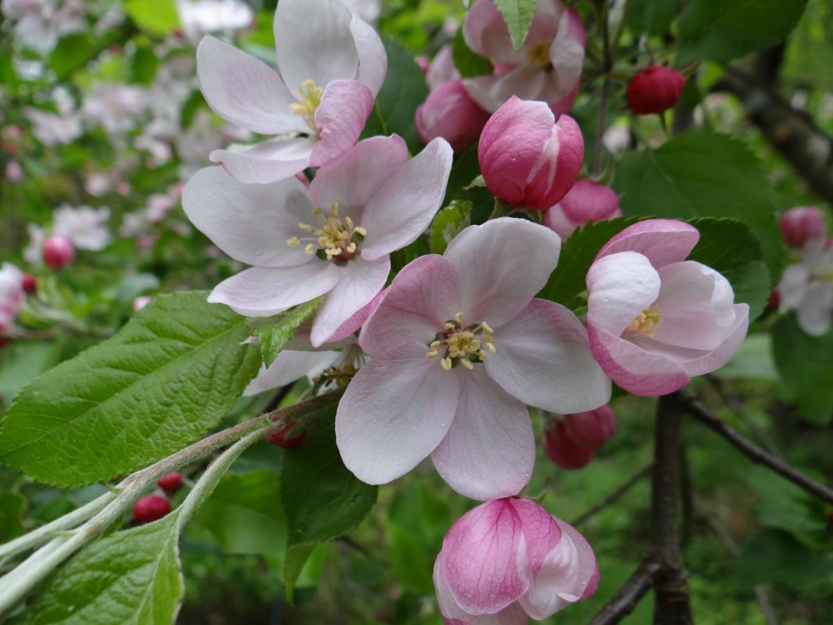 Цветы на яблоне