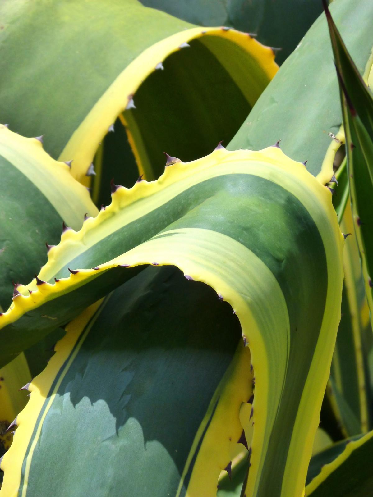 images gratuites cactus texture feuille fleur vert botanique jaune flore contexte. Black Bedroom Furniture Sets. Home Design Ideas