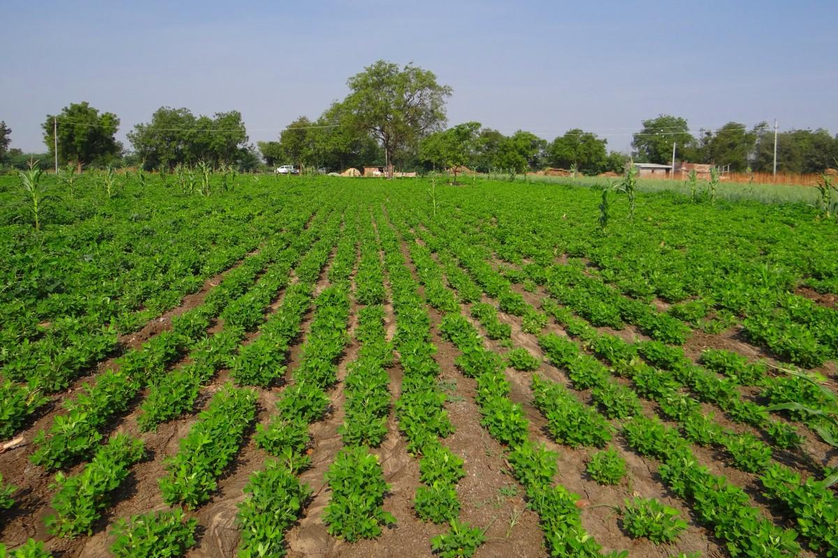 Peranan Bakteri Yang Menguntungkan Dalam Bidang Pertanian