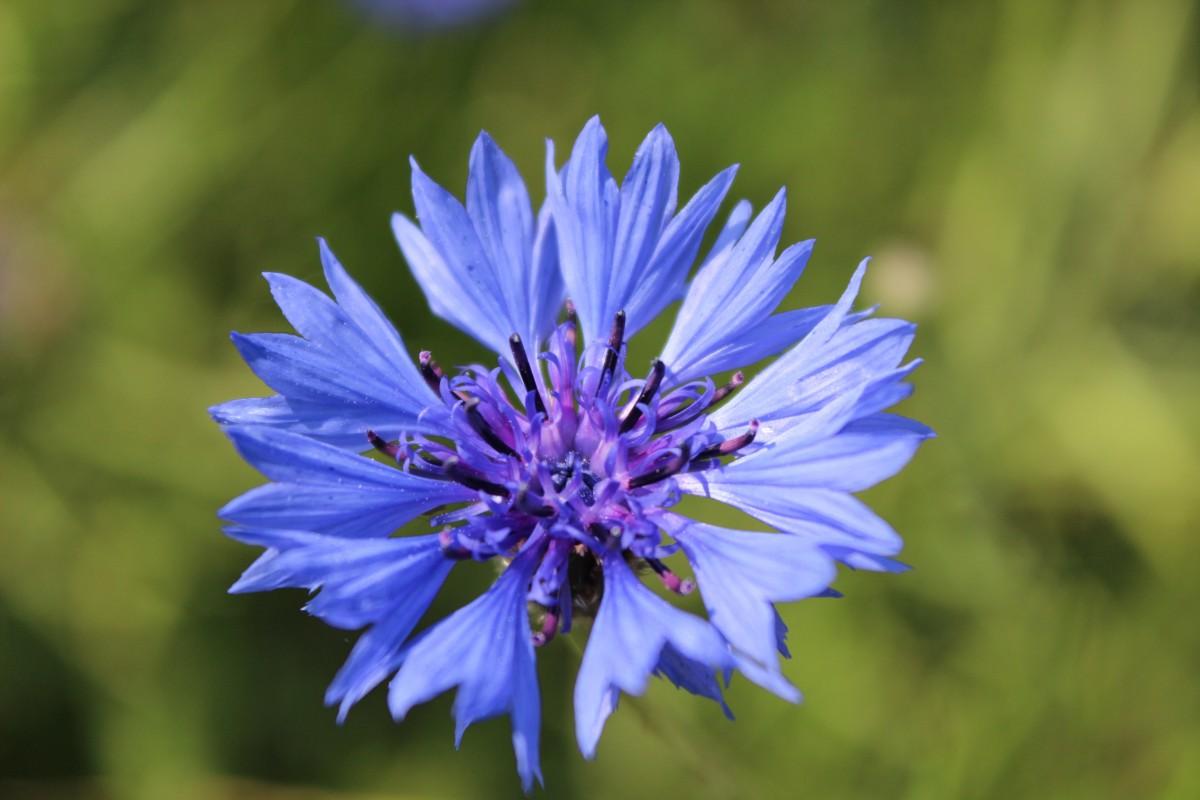 fleurs des champs bleues