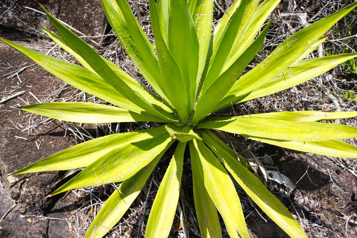 Images gratuites cactus feuille flore v g tation - Fleur d aloe vera ...