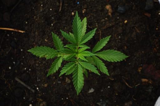 green grass ganja maria cannabis marijuana field plants 498268