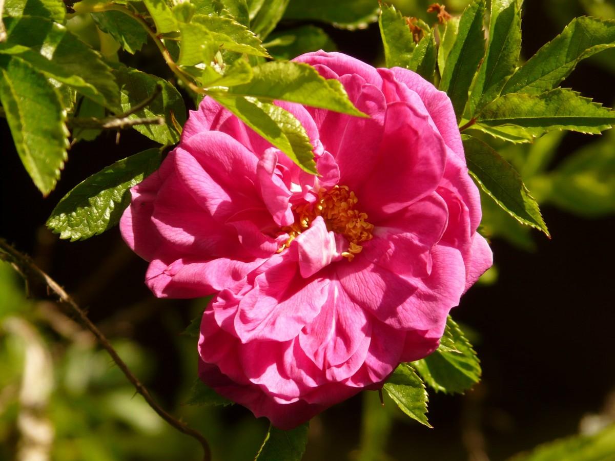 картинки с дикими розами подробнее нашей