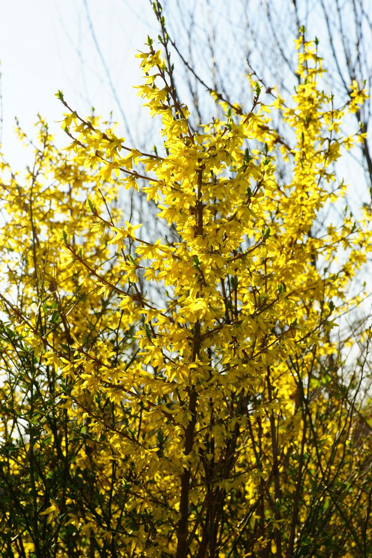 Листья форзиция цветов
