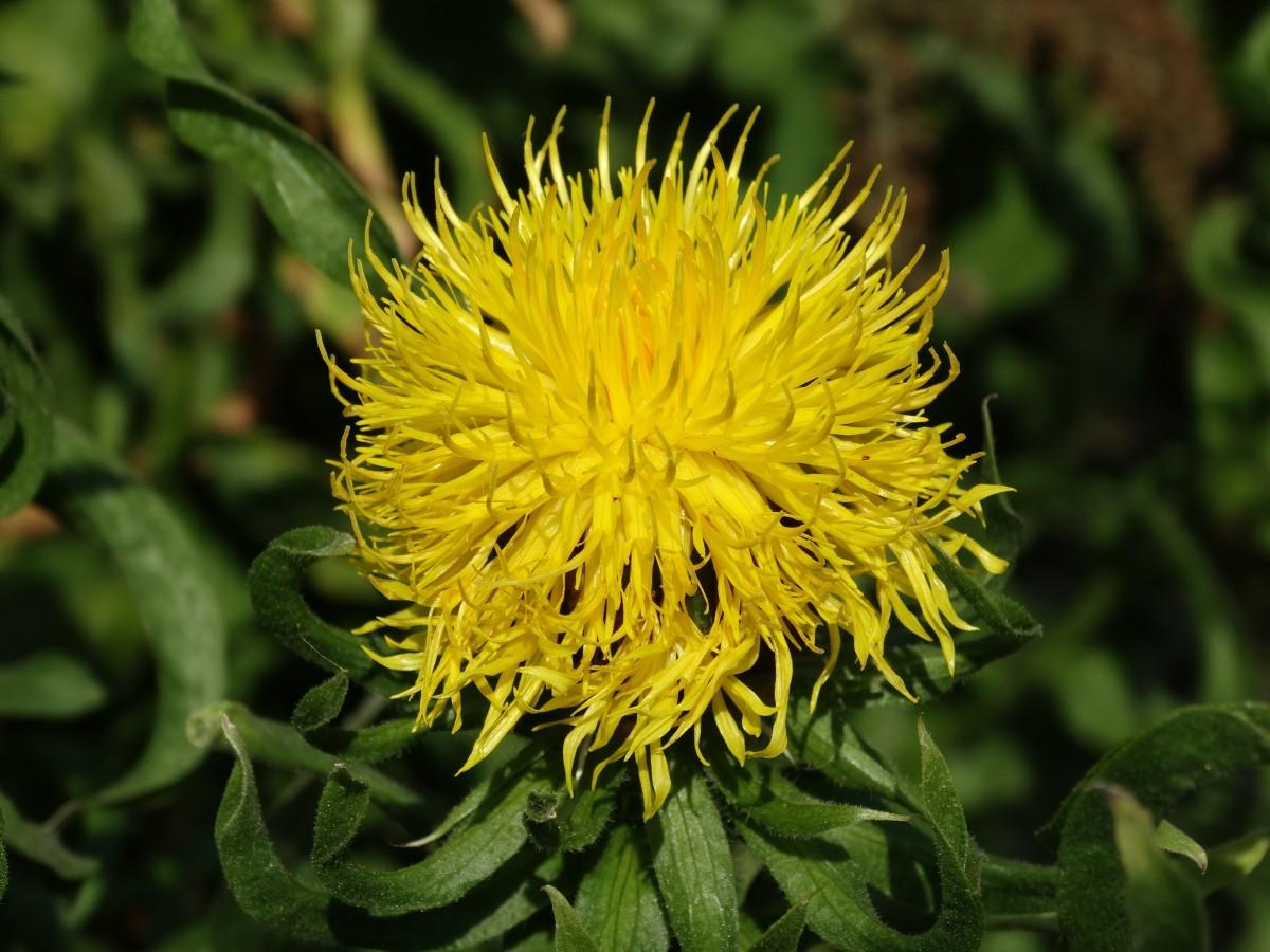 Free Images Nature Dandelion Flower Summer Botany Flora