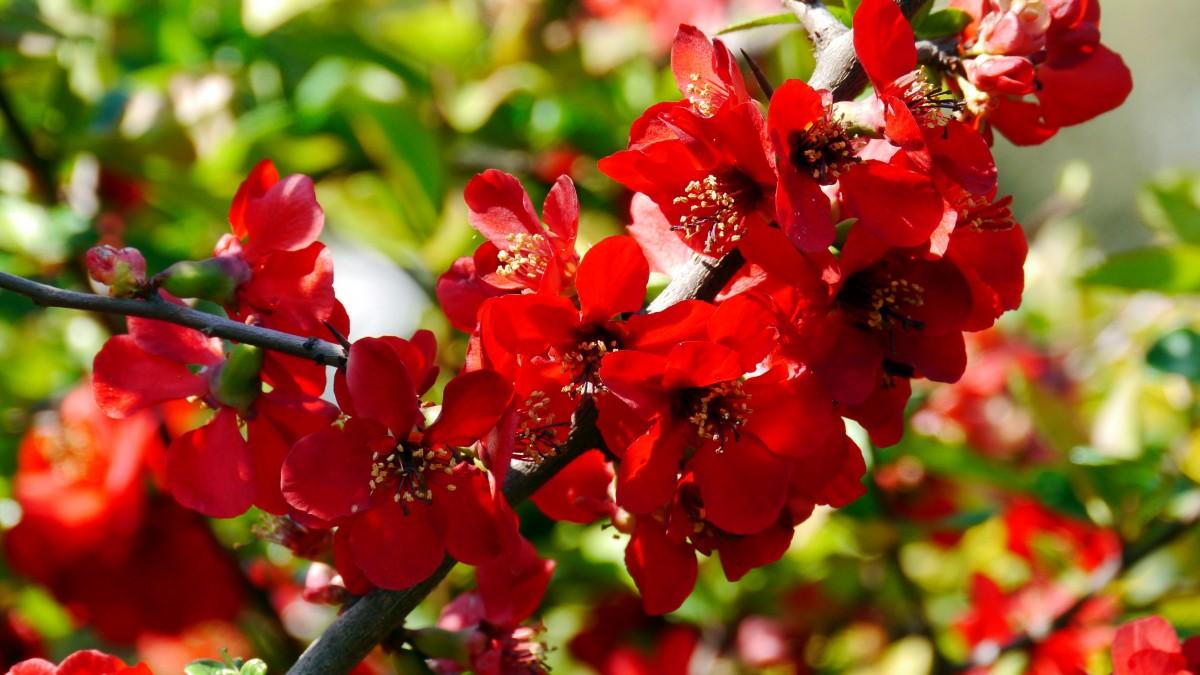 Images gratuites feuille p tale l 39 automne botanique flore fleur sauvage fleur rouge - Arbuste fleur rouge printemps ...