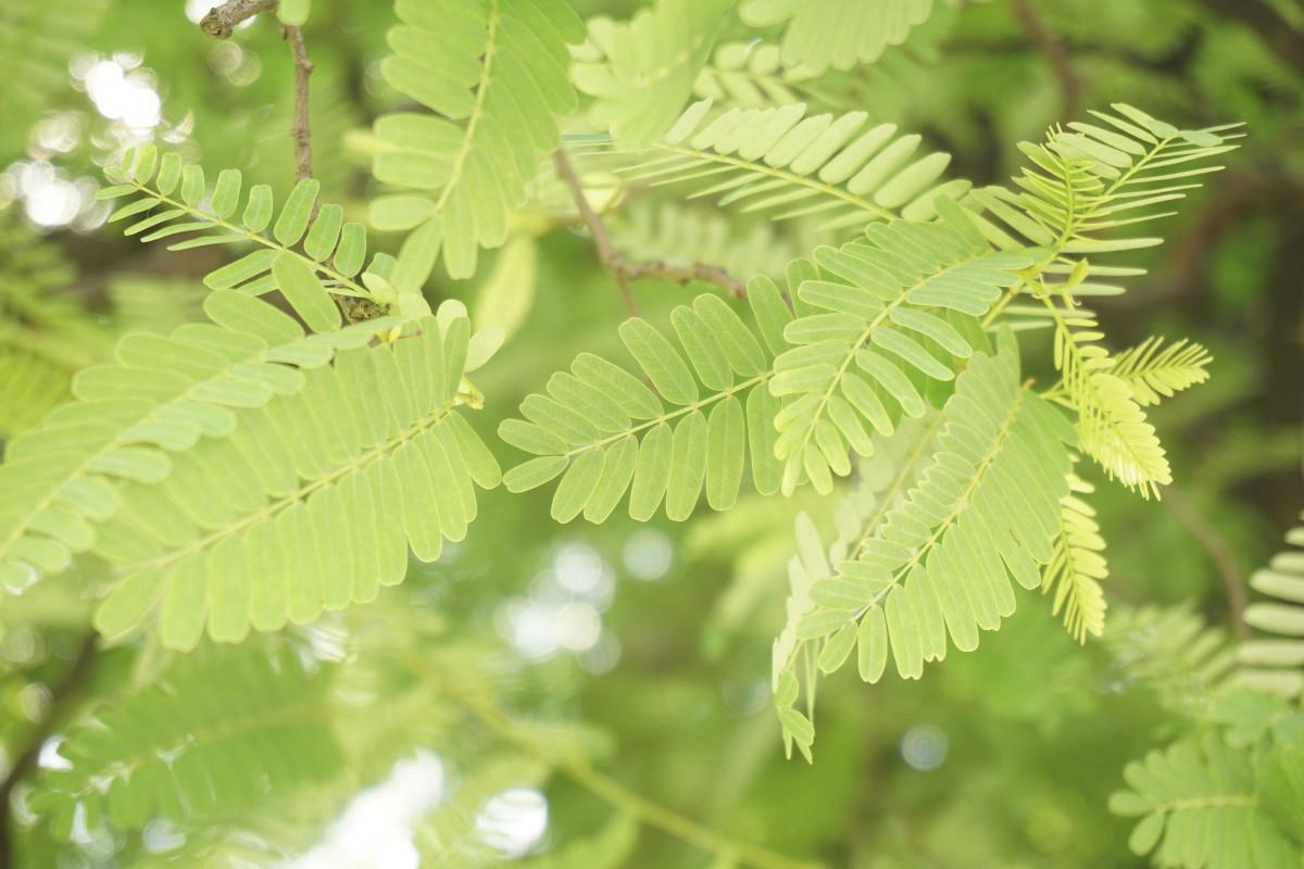 images gratuites arbre branche feuille fleur vert produire arbuste feuilles caduques. Black Bedroom Furniture Sets. Home Design Ideas