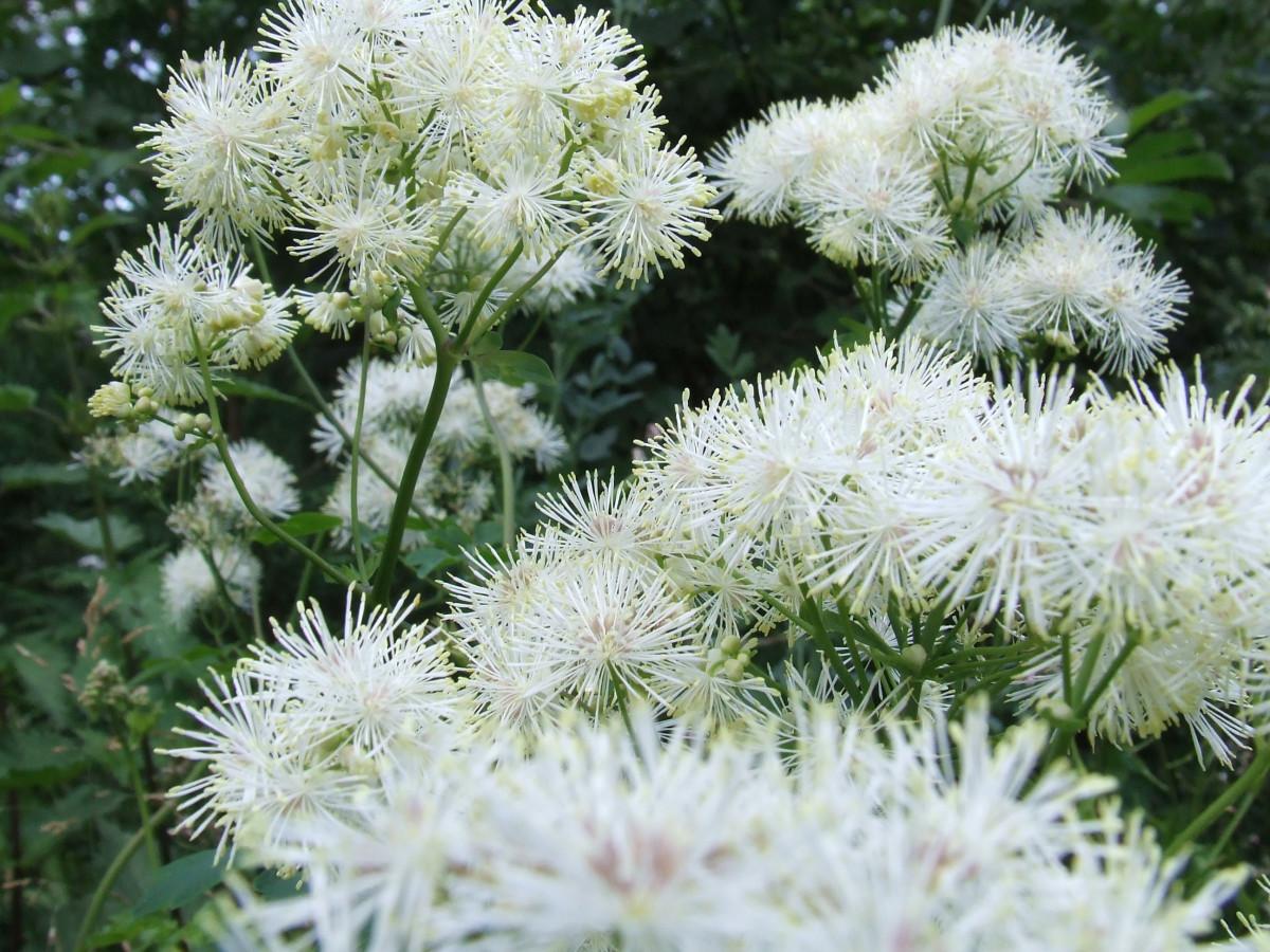 la nature plante blanc fleur produire botanique jardin flore Fleur sauvage fleurs arbuste plante à fleurs Famille de marguerites Boules de neige Filipendula ulmaria Subshrub Plante terrestre