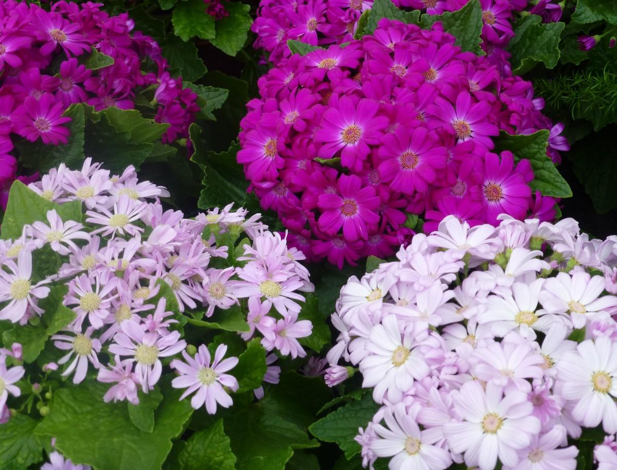 природа, растение, цветок, лепесток, Красочный, Флора, цветы, Гербера, Примула, цветущее растение, Маргаритка, Вербена, Однолетнее растение, Наземный завод