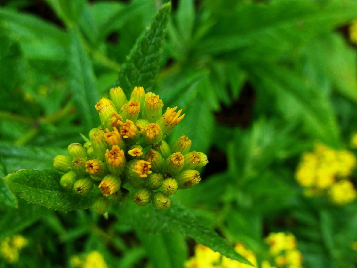 Images gratuites fleur herbe produire flore fleur for Plante herbe haute