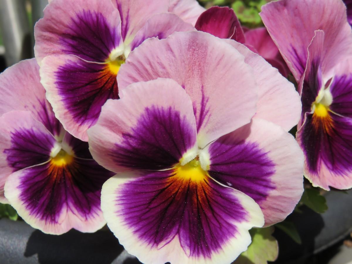 images gratuites fleur violet p tale floraison flore il alto pens es. Black Bedroom Furniture Sets. Home Design Ideas