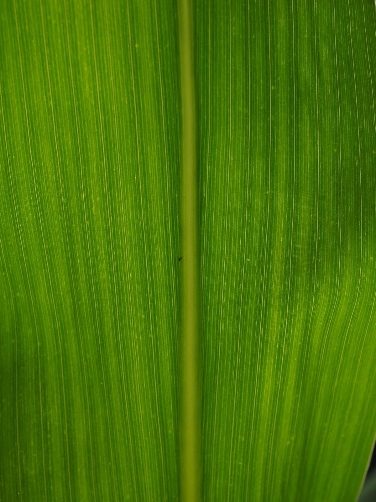 free images   lawn  flower  line  green  crop  agriculture  grassland  banana leaf  macro
