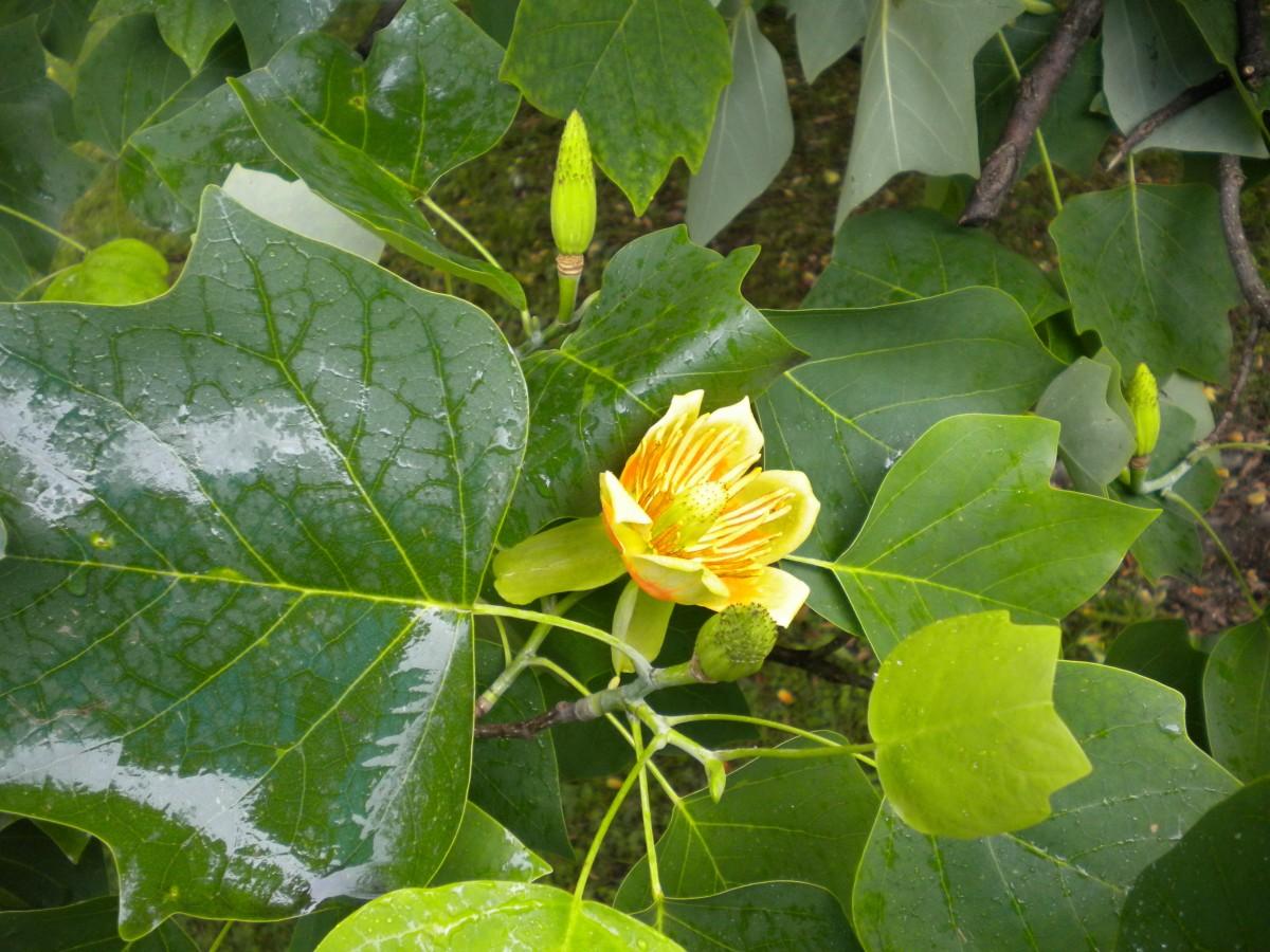 Albero dei tulipani foto 87