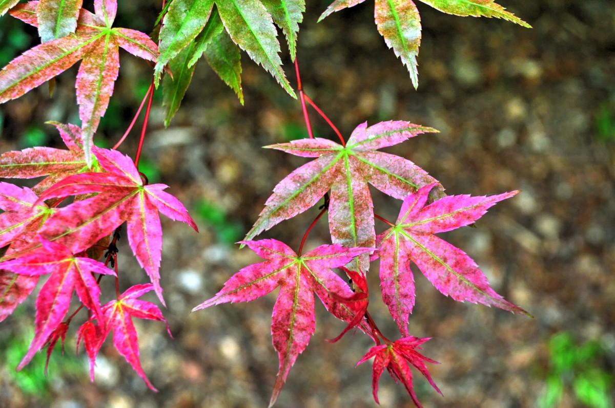images gratuites arbre la nature feuillage printemps rouge couleur l 39 automne jardin. Black Bedroom Furniture Sets. Home Design Ideas