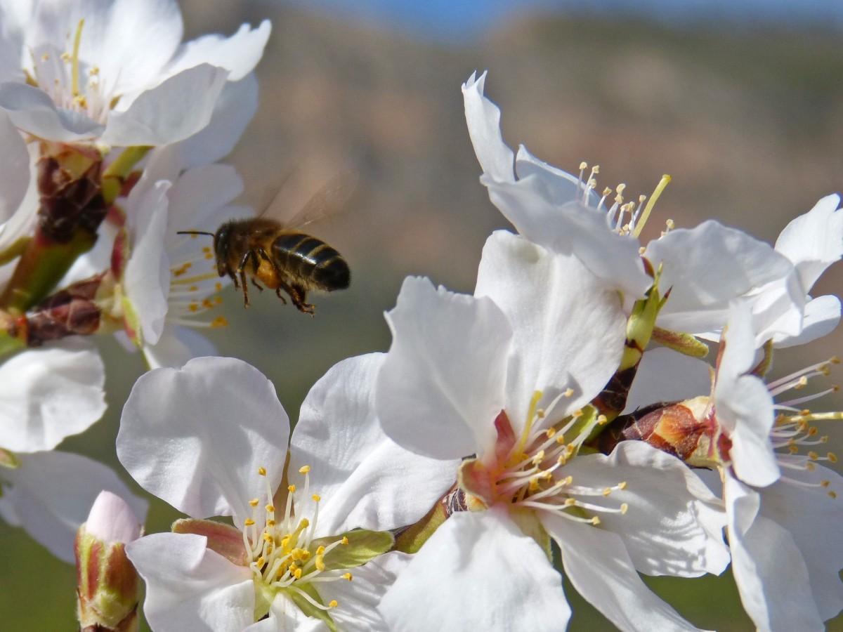 rama flor planta flor pétalo volador polen primavera insecto botánica flora fauna invertebrado de cerca abeja néctar Fotografía macro Miel de abeja Libar Flor de almendro Insecto con membrana alada Vuelo de abeja