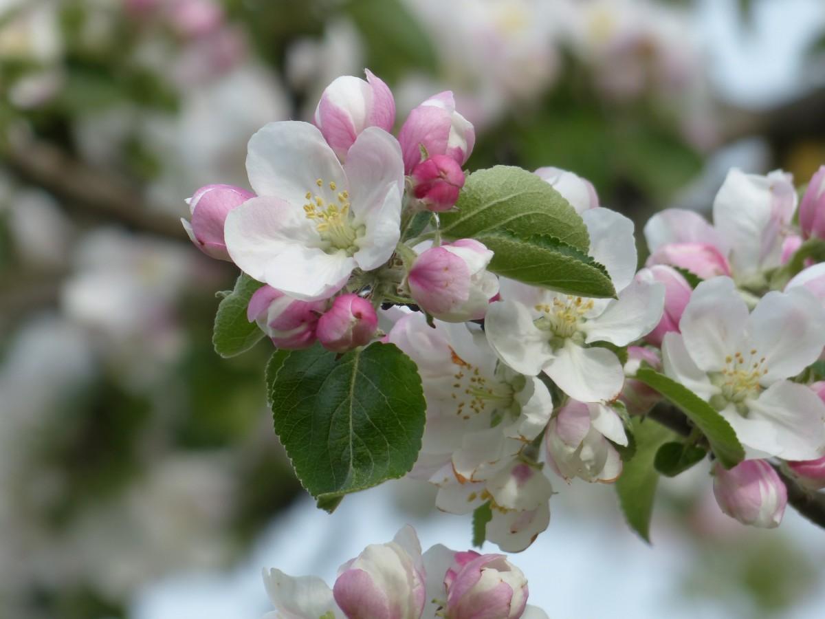 Картинки цветы яблони большое разрешение, пожелание