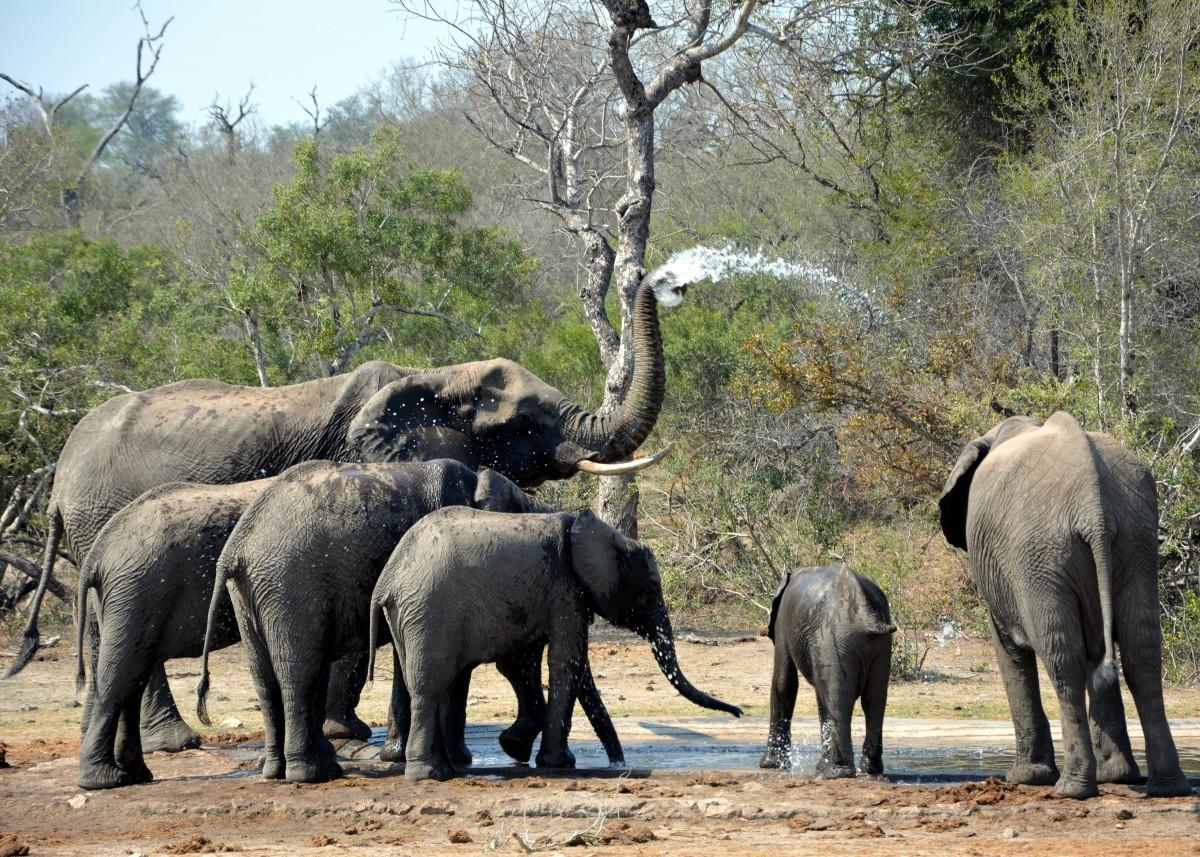 Images gratuites aventure faune mammif re l phant safari afrique du sud parc kruger - Photos d elephants gratuites ...
