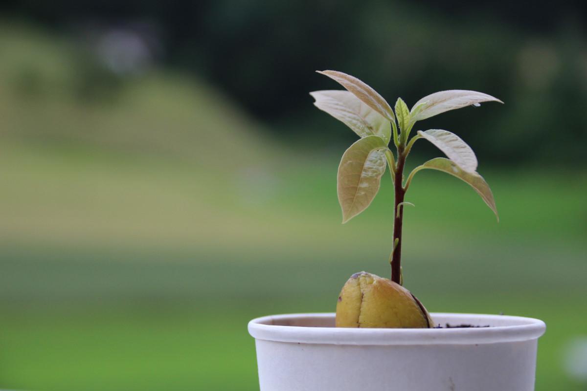 Авокадо в горшке: выращивание и уход в домашних условиях 99