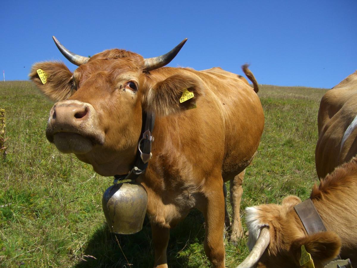 Fotos de vacas brown swiss 98