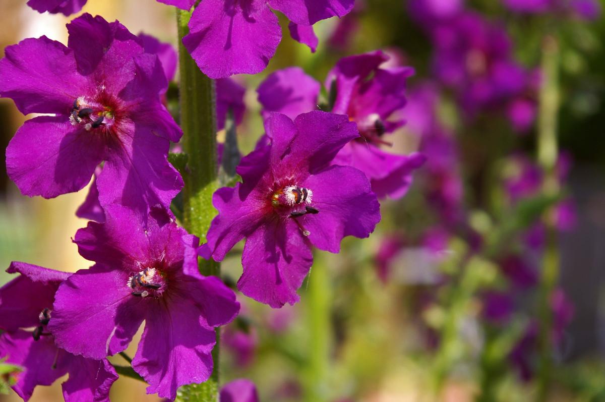 kostenlose foto natur bl hen farbe botanik garten flora lavendel wildblume blumenbeet. Black Bedroom Furniture Sets. Home Design Ideas