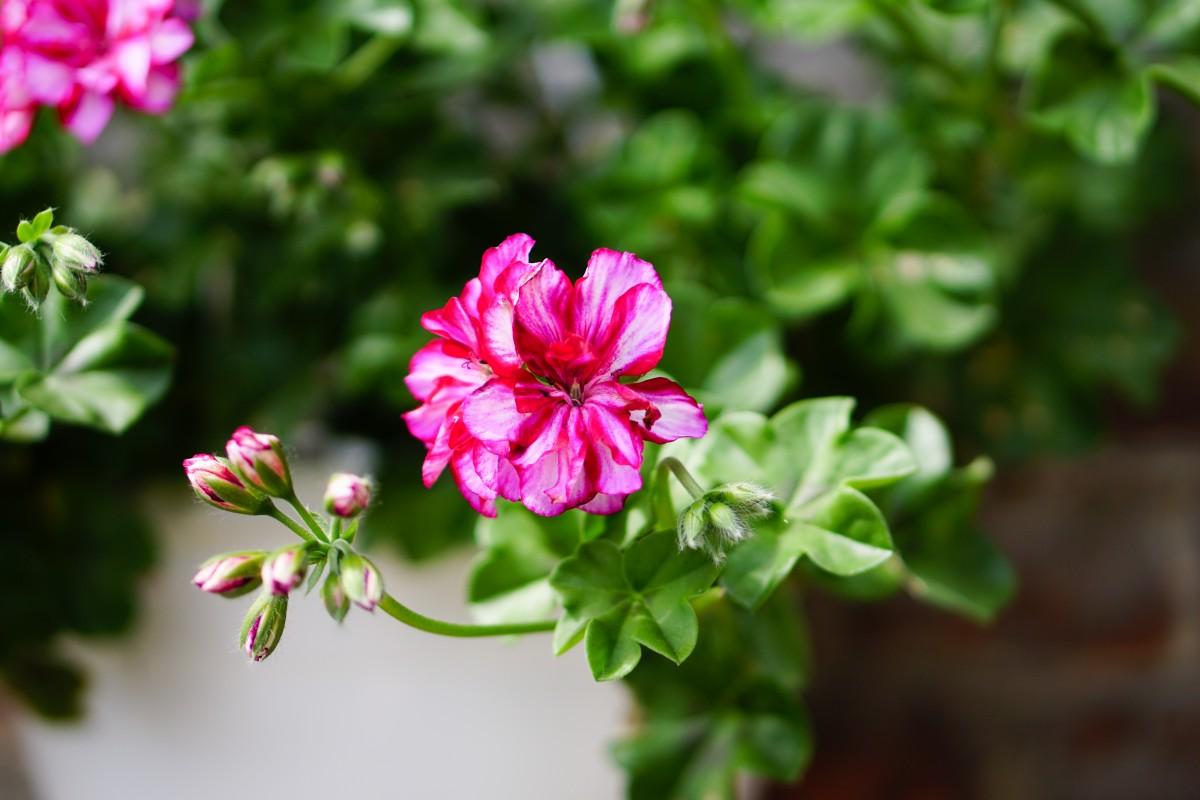 Images gratuites la nature fleur p tale floraison vert botanique jardin rose fermer - Beau jardin rose and geranium ...