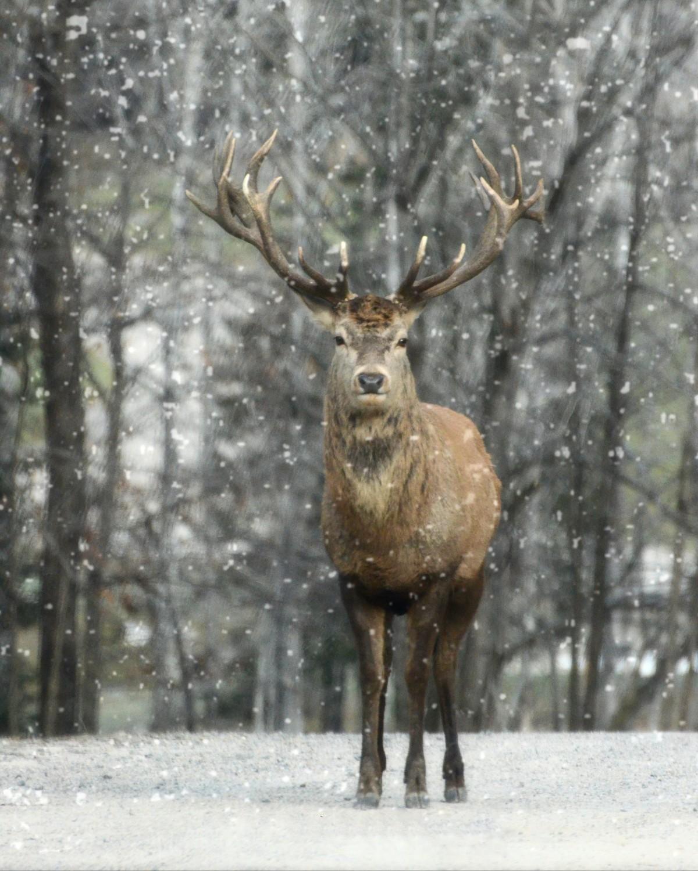 images gratuites   paysage  la nature  for u00eat  neige  hiver  animal  faune  sauvage  mammif u00e8re