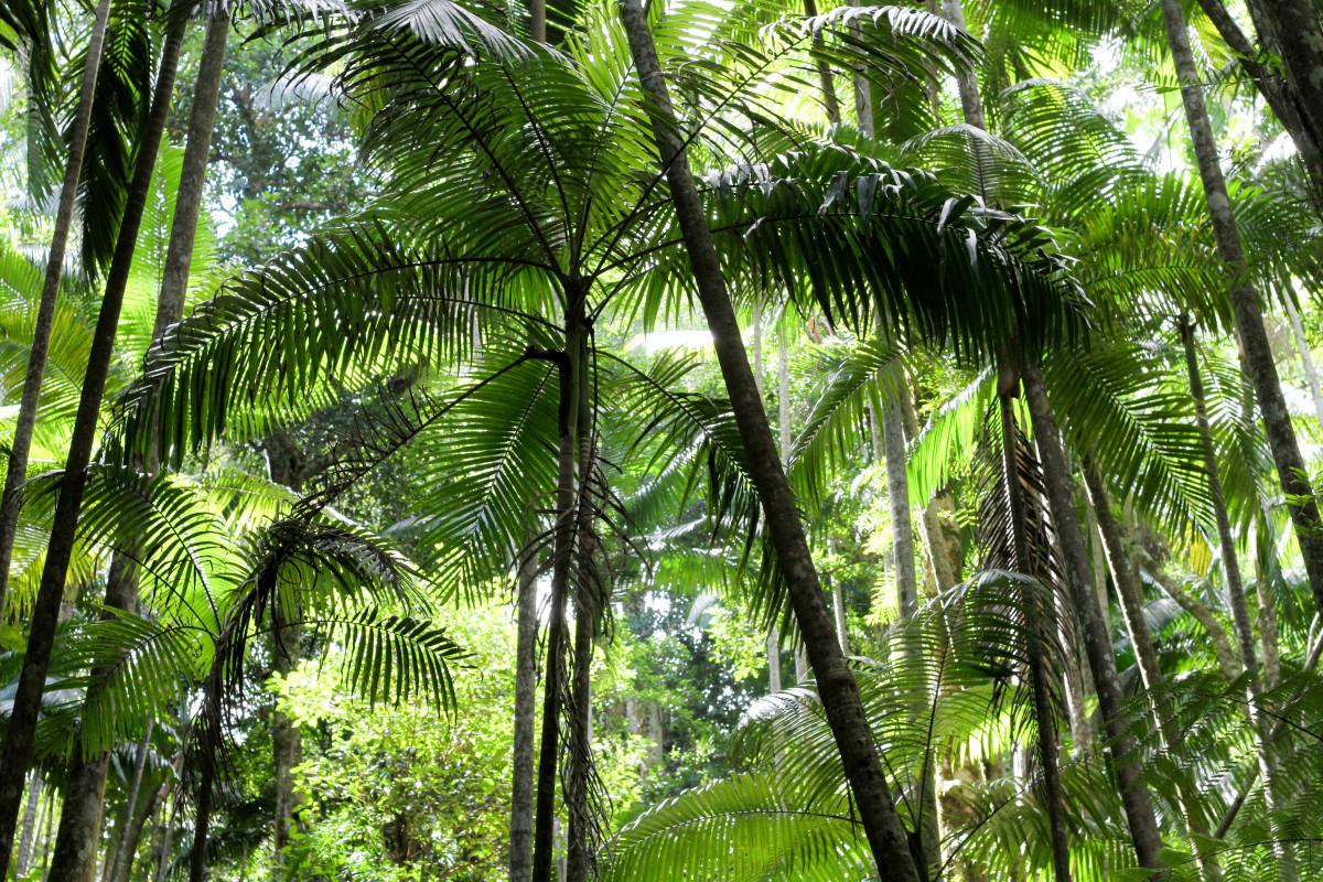 картинка тропического дерева что класс