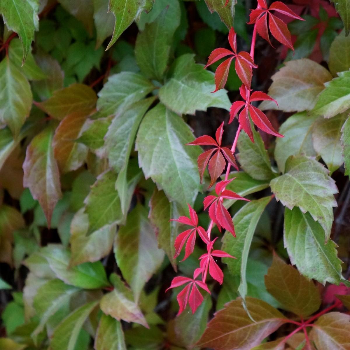 images gratuites arbre feuille fleur rouge produire l 39 automne botanique jardin poire. Black Bedroom Furniture Sets. Home Design Ideas