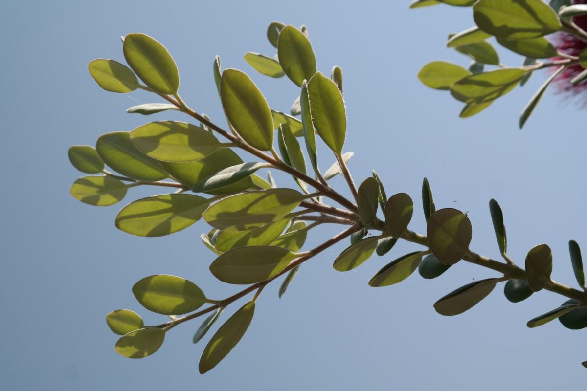 images gratuites fleur feuille feuilles persistantes botanique flore argent arbuste. Black Bedroom Furniture Sets. Home Design Ideas