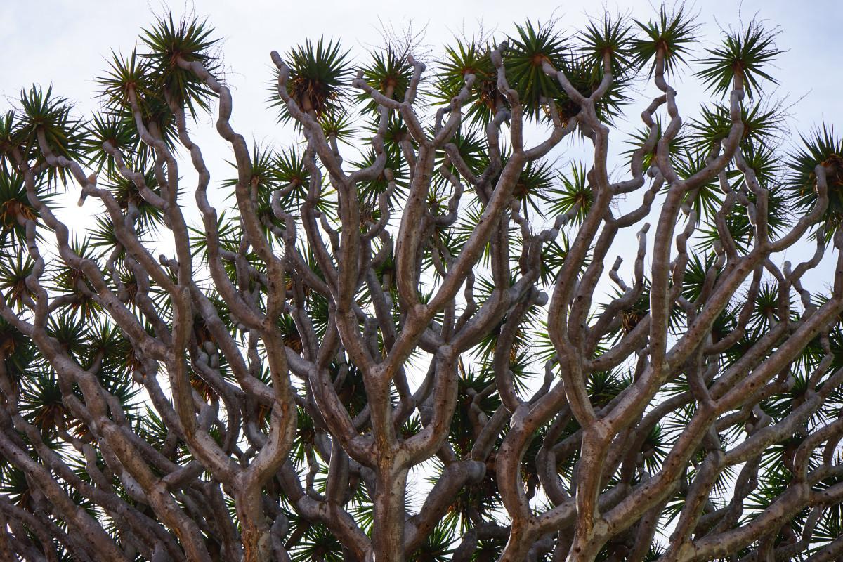 Gambar Cabang Menanam Daun Bunga Menghasilkan Hijau Sepanjang Tahun Botani Flora Mahkota Estetis Merapikan Belukar Ranting Tenerife Tunas Pulau Canary Tanaman Berbunga Kurma Asparagaceae Pohon Naga Tanaman Asparagus Keluarga