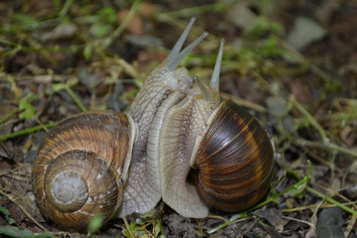 Fotos gratis : fauna silvestre, amor, jugando, invertebrado, caracol, berberecho, Moluscos ...