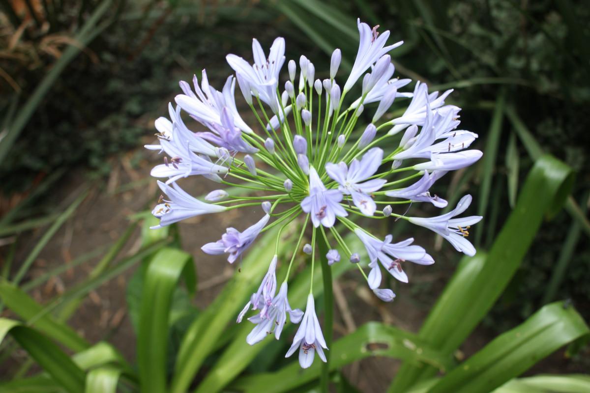 Images gratuites fleur violet p tale floraison herbe for Planter oignon amaryllis