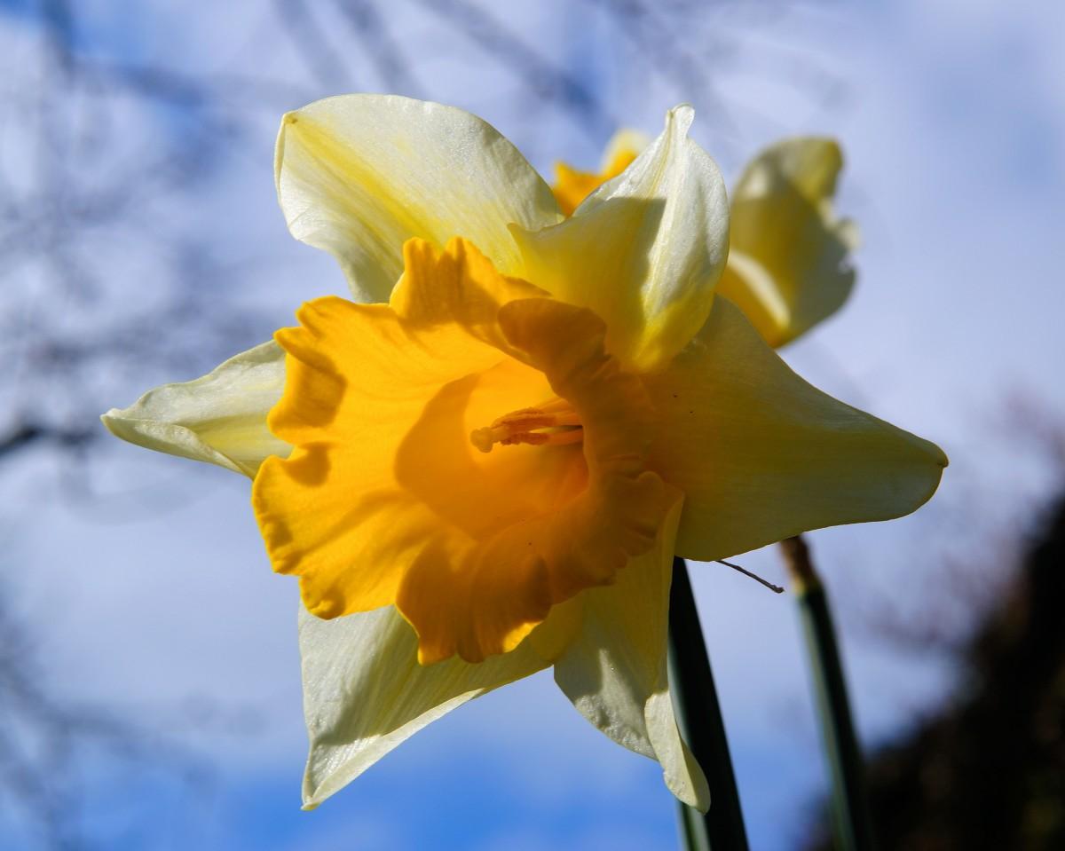 Images gratuites la nature floraison botanique for Amaryllis jaune