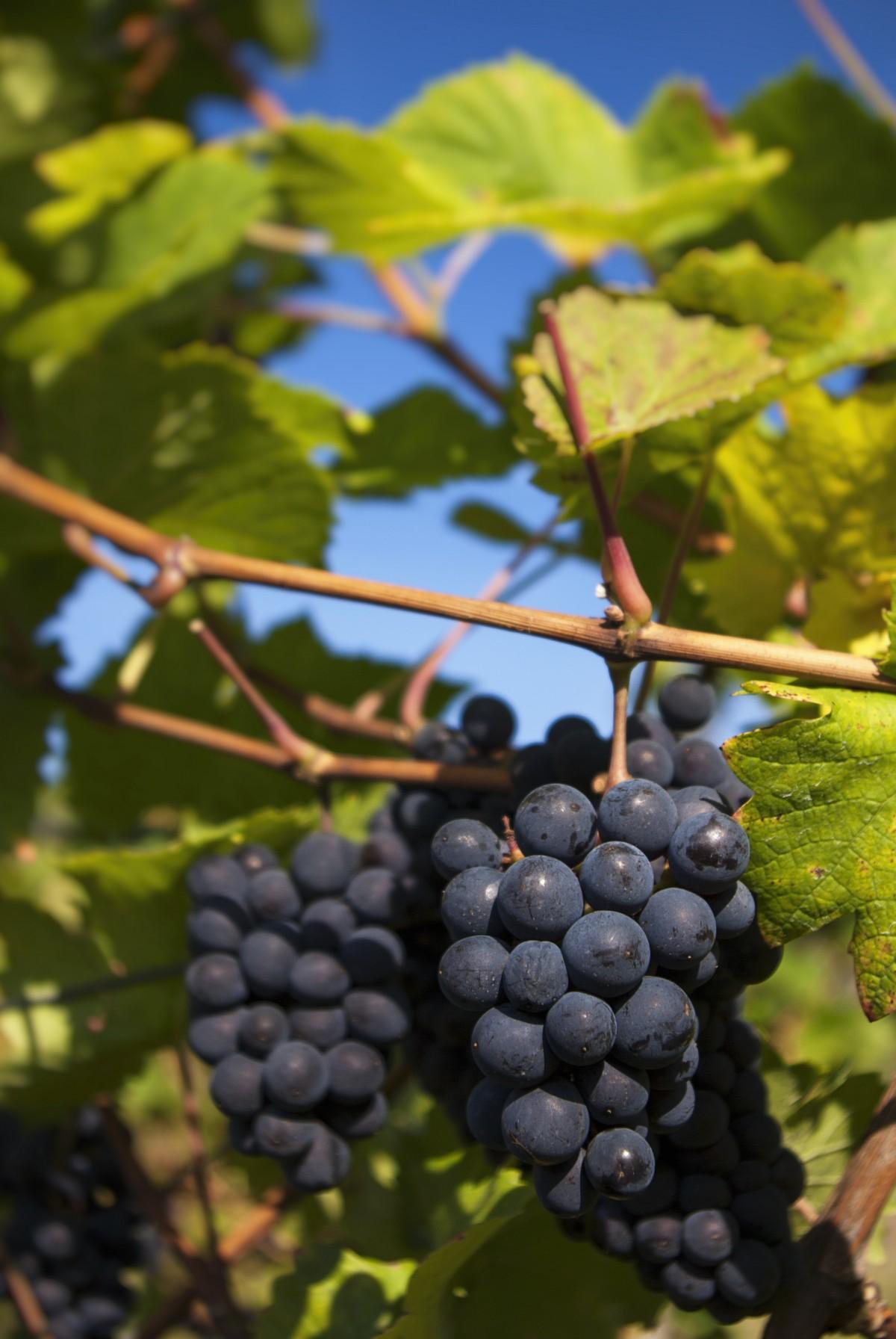 Гостевые для, картинки виноградом