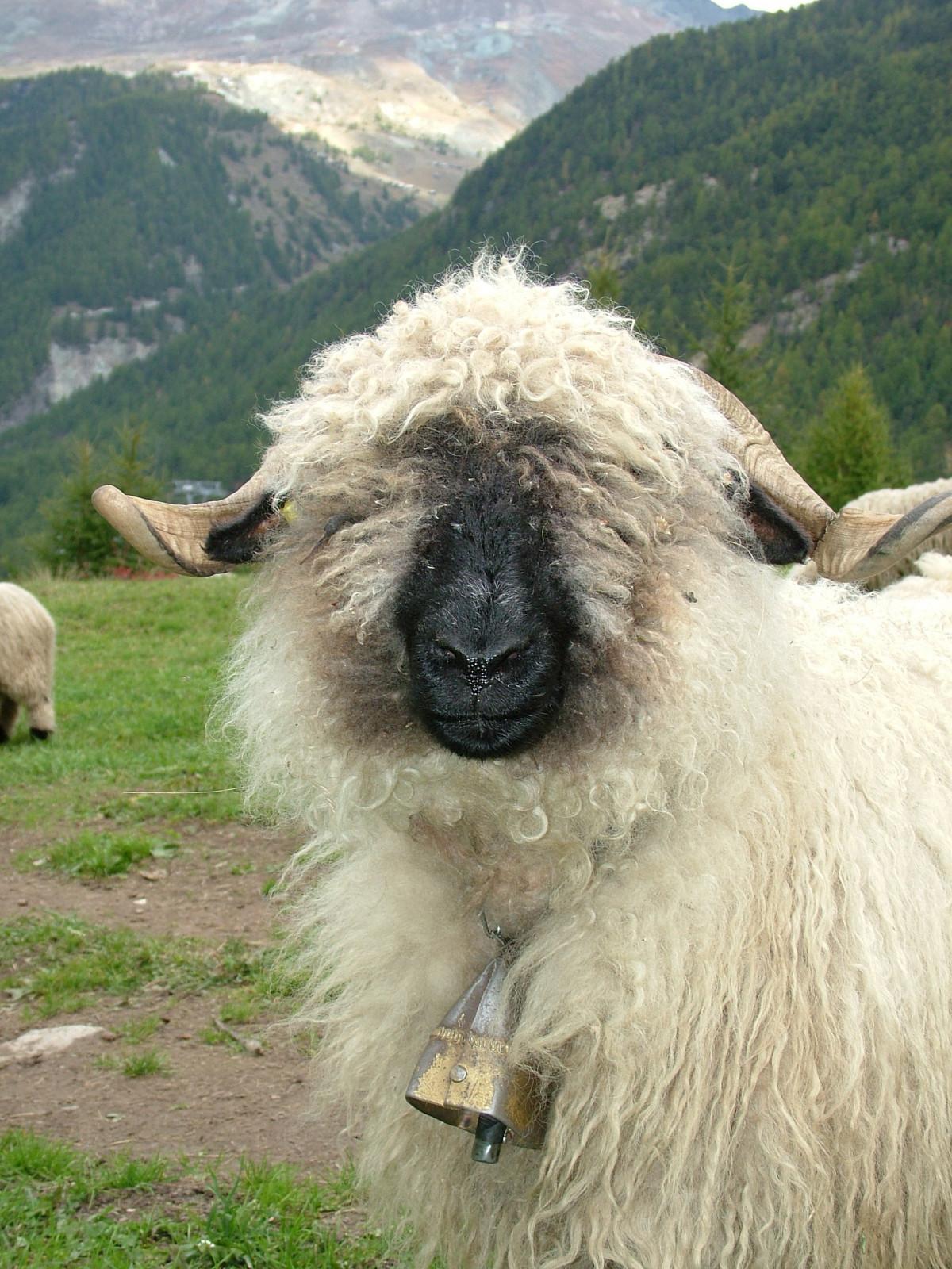 Images gratuites animal p turage mouton faune lama - Photos de moutons gratuites ...