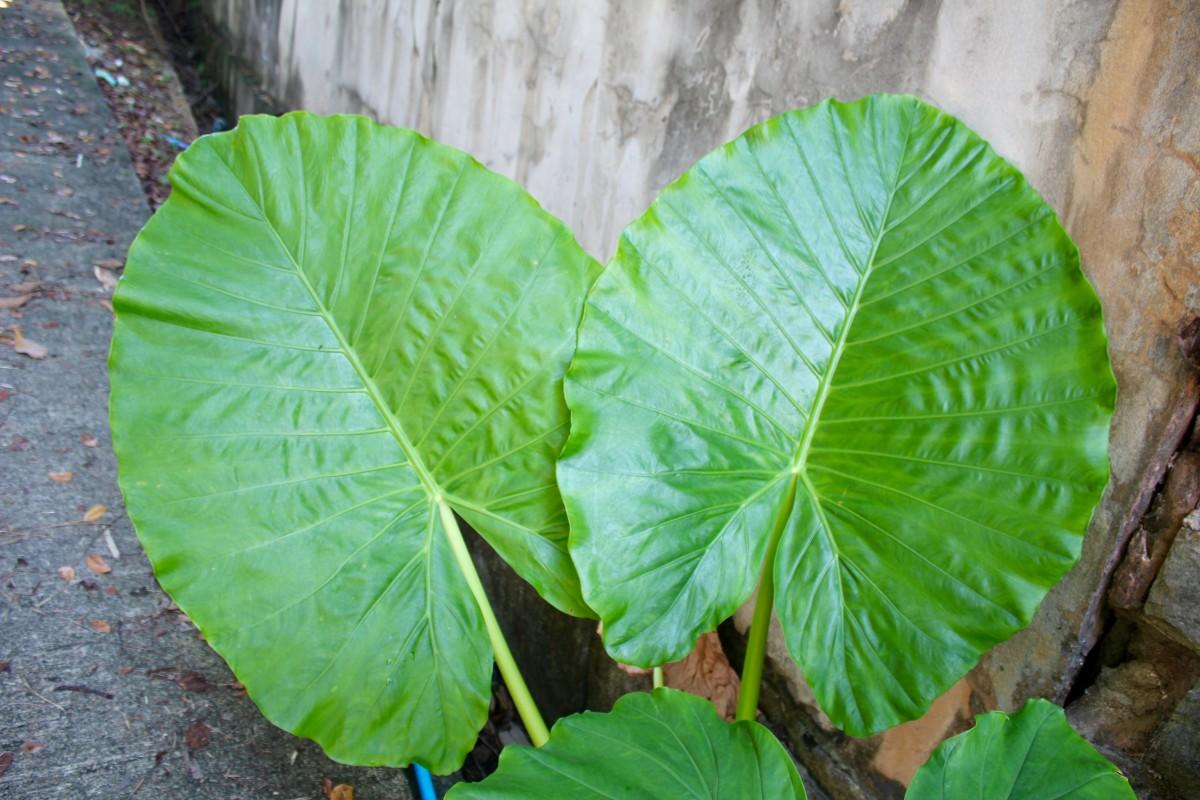 Картинки растений с большими листьями