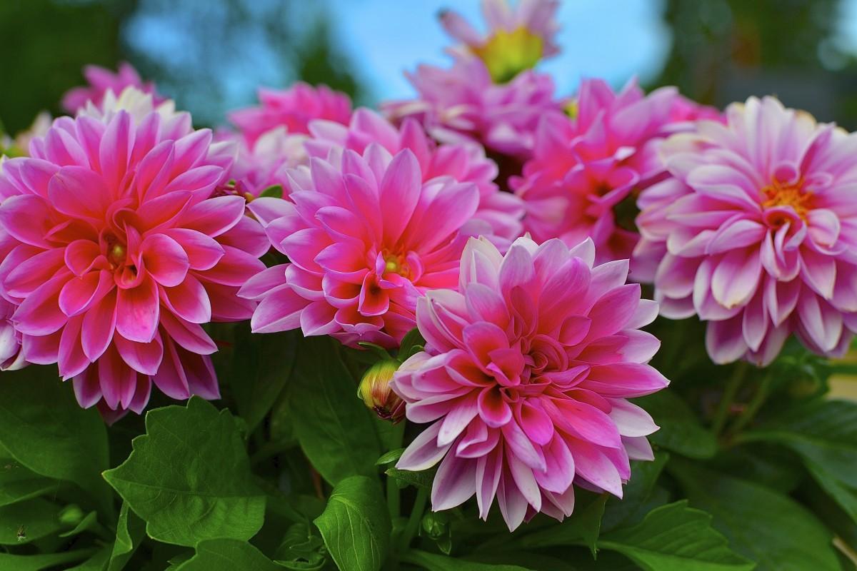 Однолетние розовые цветы