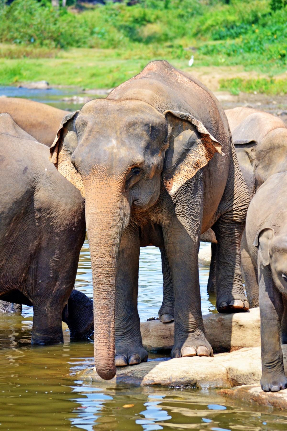 Images gratuites faune zoo mammif re l phant vert br safari sri lanka ceilon - Photos d elephants gratuites ...