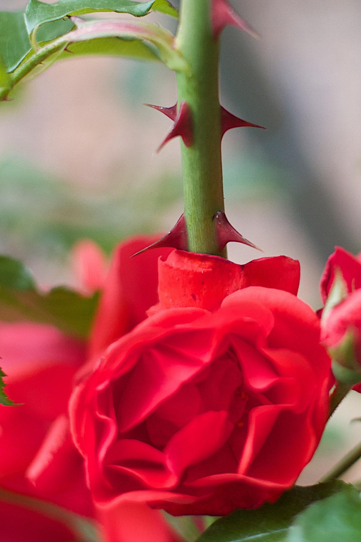 Картинка цветка роза с шипами