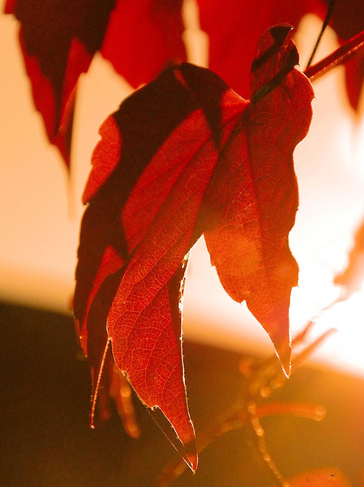 kostenlose foto baum ast pflanze blatt blume bl tenblatt rot farbe herbst flora. Black Bedroom Furniture Sets. Home Design Ideas