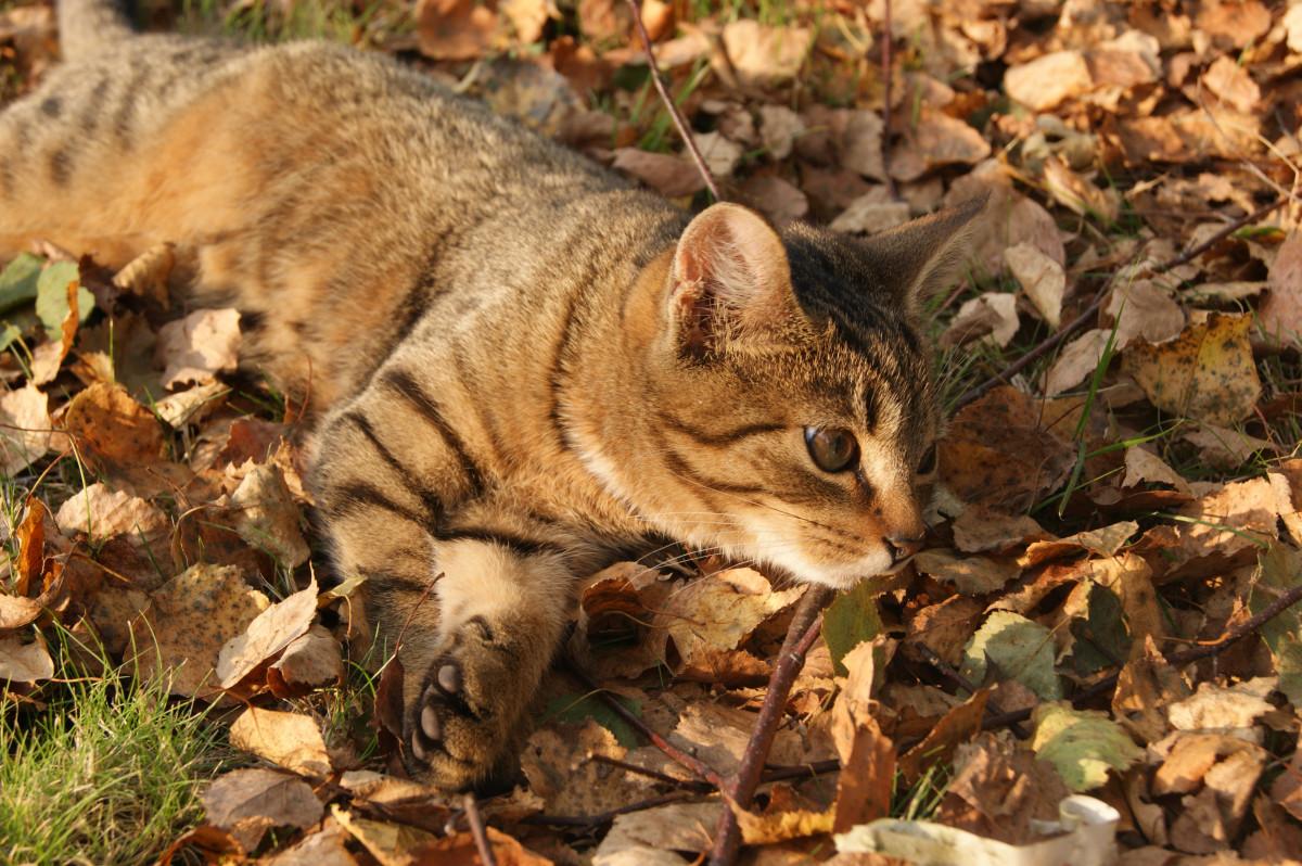 Bakgrundsbilder vilda djur och v xter l vverk kattunge h st fauna polisonger - Images d automne gratuites ...