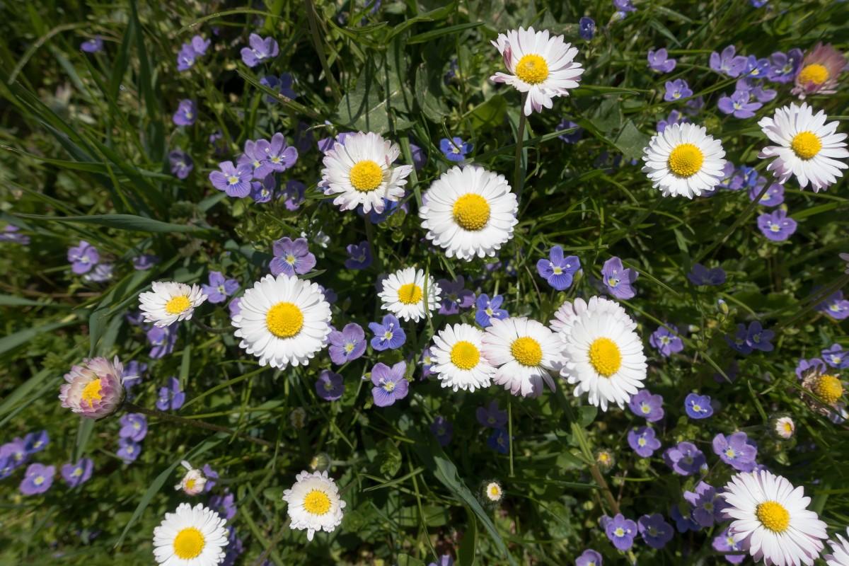 Фото цветы ромашки и незабудки