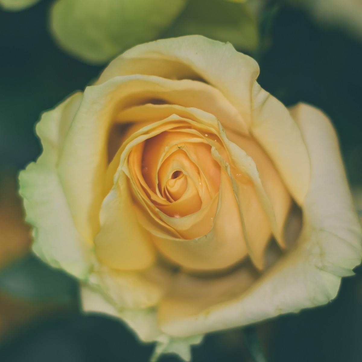 Garden Roses Flower Petal: Free Images : Flower, Petal, Close Up, Macro Photography