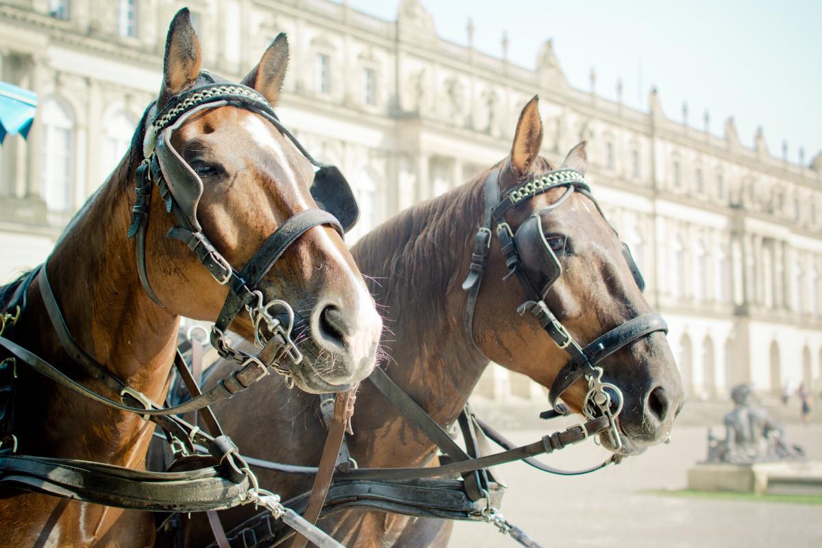 luonto eläin turkki ajoneuvo hevonen ruskea ohjat ori harja suitset tamma kuski valmentaja hevosen pään riimu pferdeportrait hevosvaunuissa equestrianism kuormajuhta hevonen päät silmälaput Schlo Herrenchiemsee horse kuten nisäkäs hevosen valjaat valjaat eläin urheilu hevosurheilun