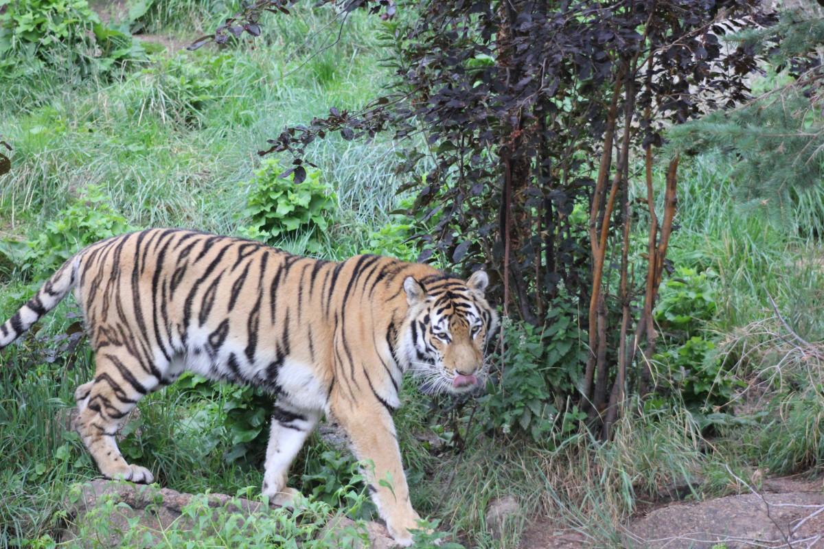 Free Images : animal, wildlife, wild, zoo, jungle, feline ...