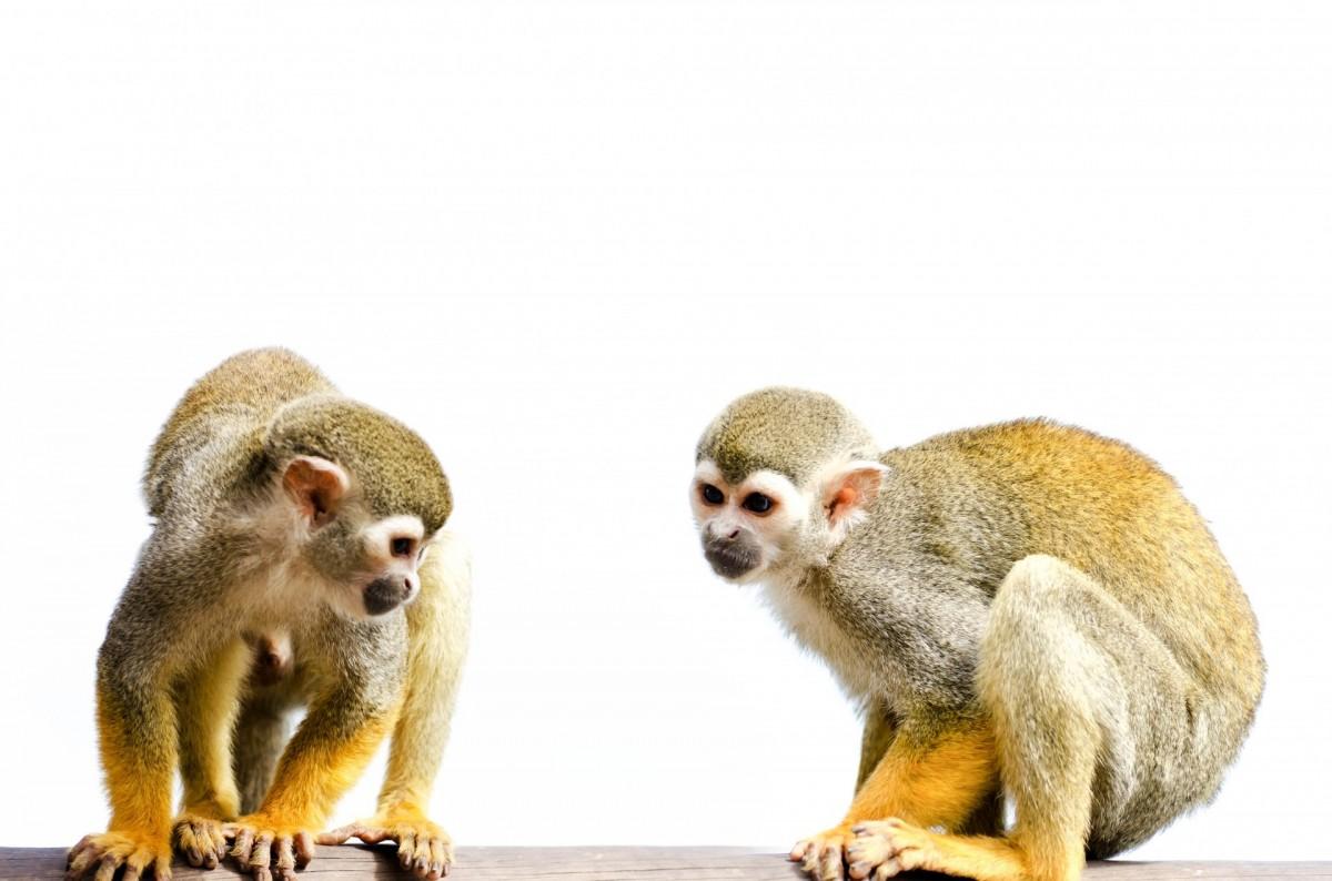 Squirrel monkeys in trees - photo#49